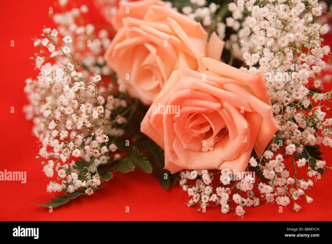 A bouquet of pink roses and baby s breath on a bright red background Stock Photo