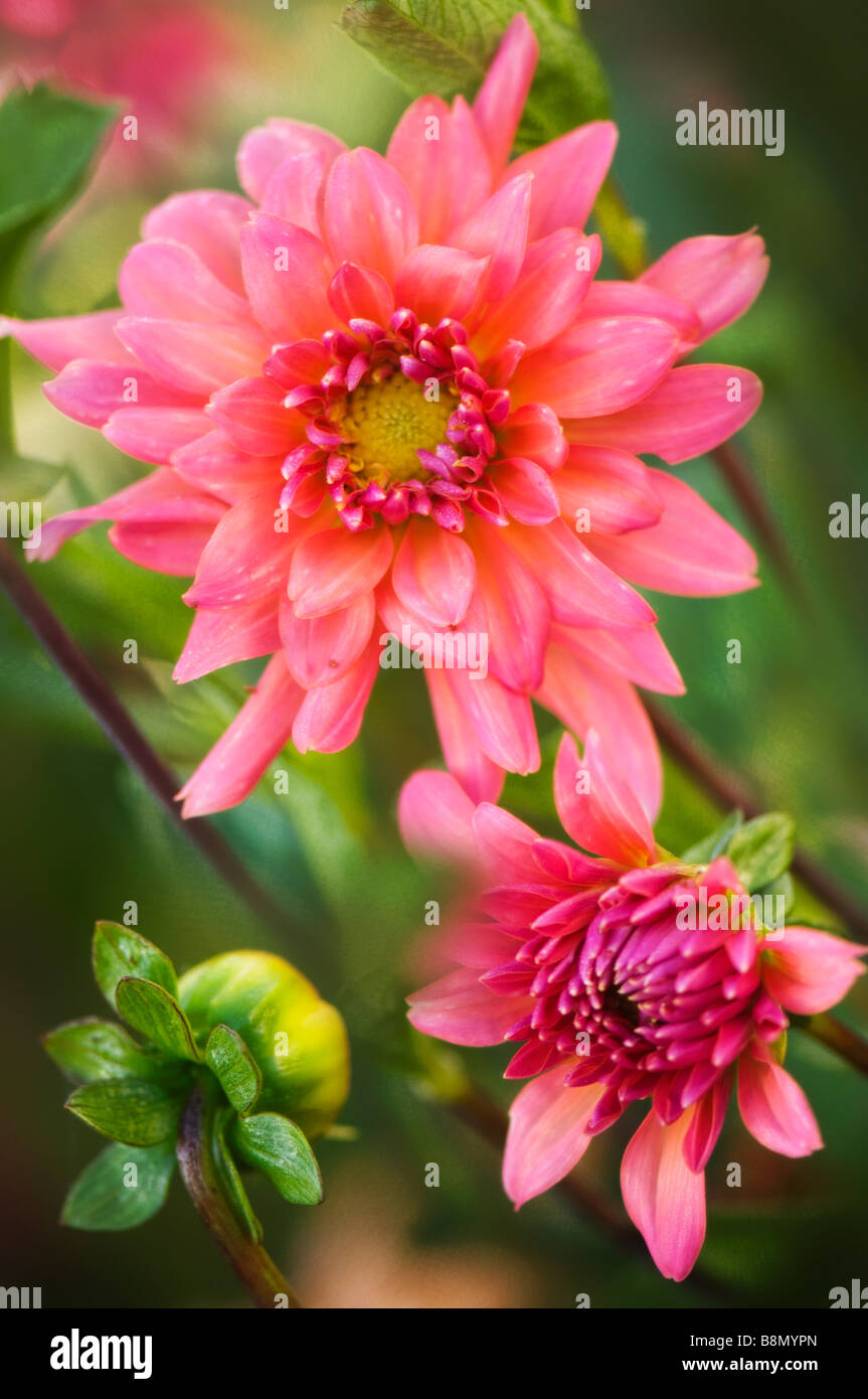Two dahlia flowers stock photos two dahlia flowers stock images two dahlia flowers and a bud coral pink blooms stock image izmirmasajfo