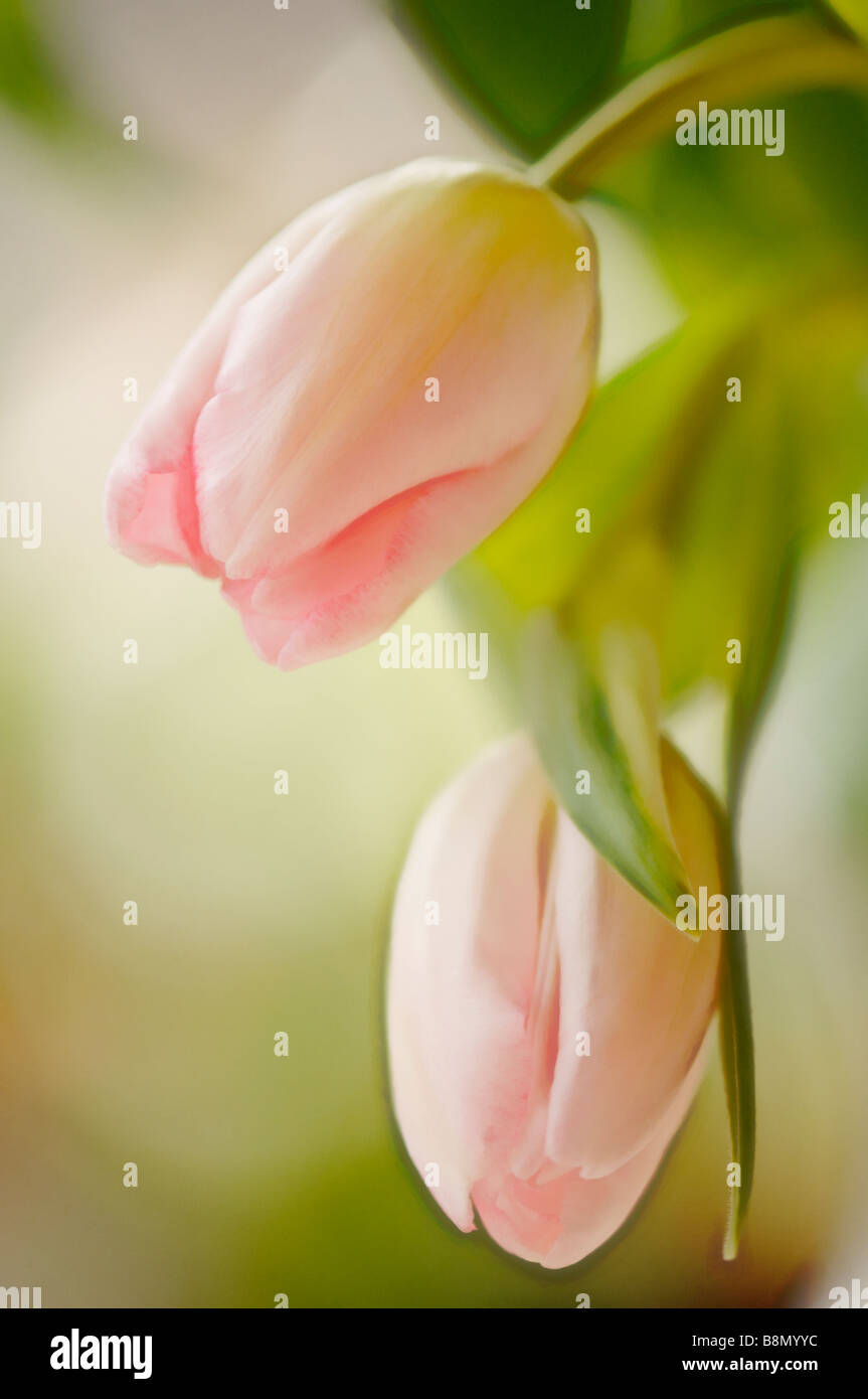 Two Pink Tulips Nodding. Studio Shot of a Flower Bouquet - Stock Image