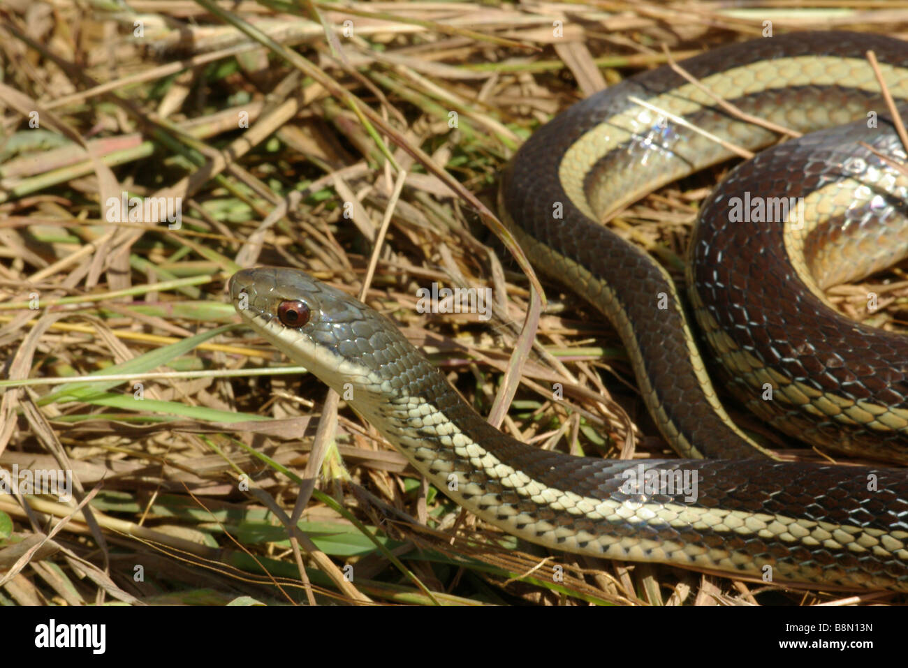 Lateral Water Snake (Bibilava lateralis) on dry grass in Anjaha Community Reserve, Madagascar. - Stock Image
