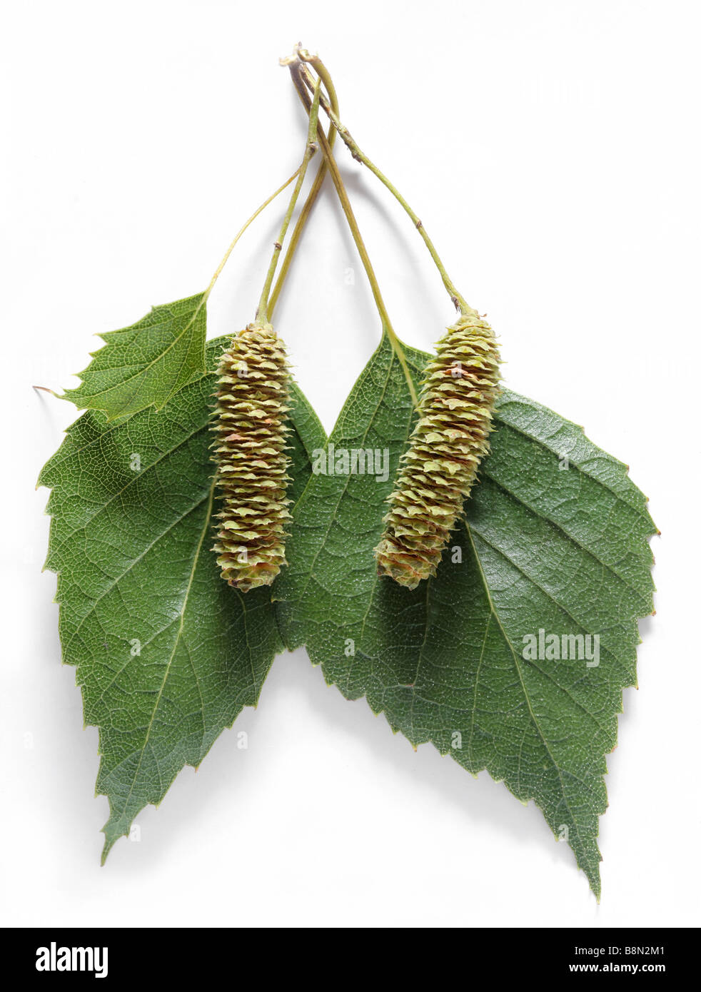 seed of birch - Stock Image