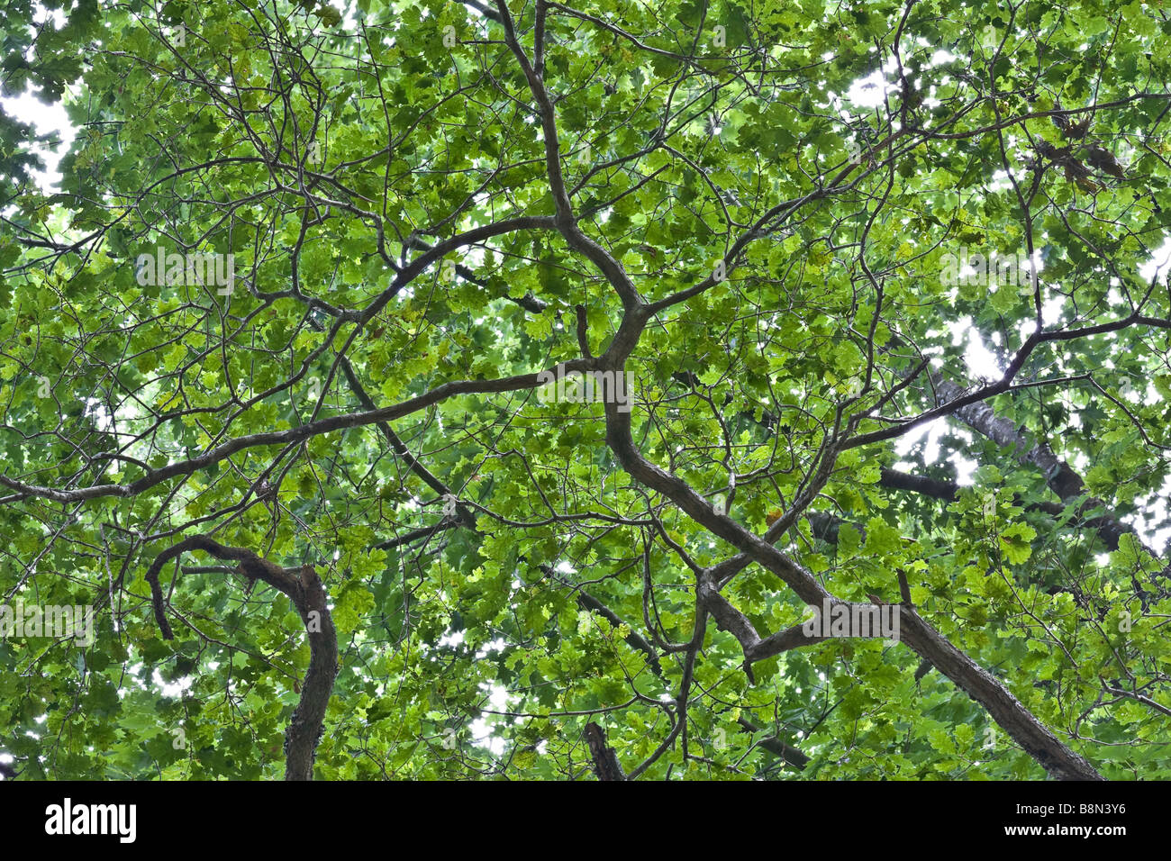 Branch of a tree from below Horizontal shot - Stock Image