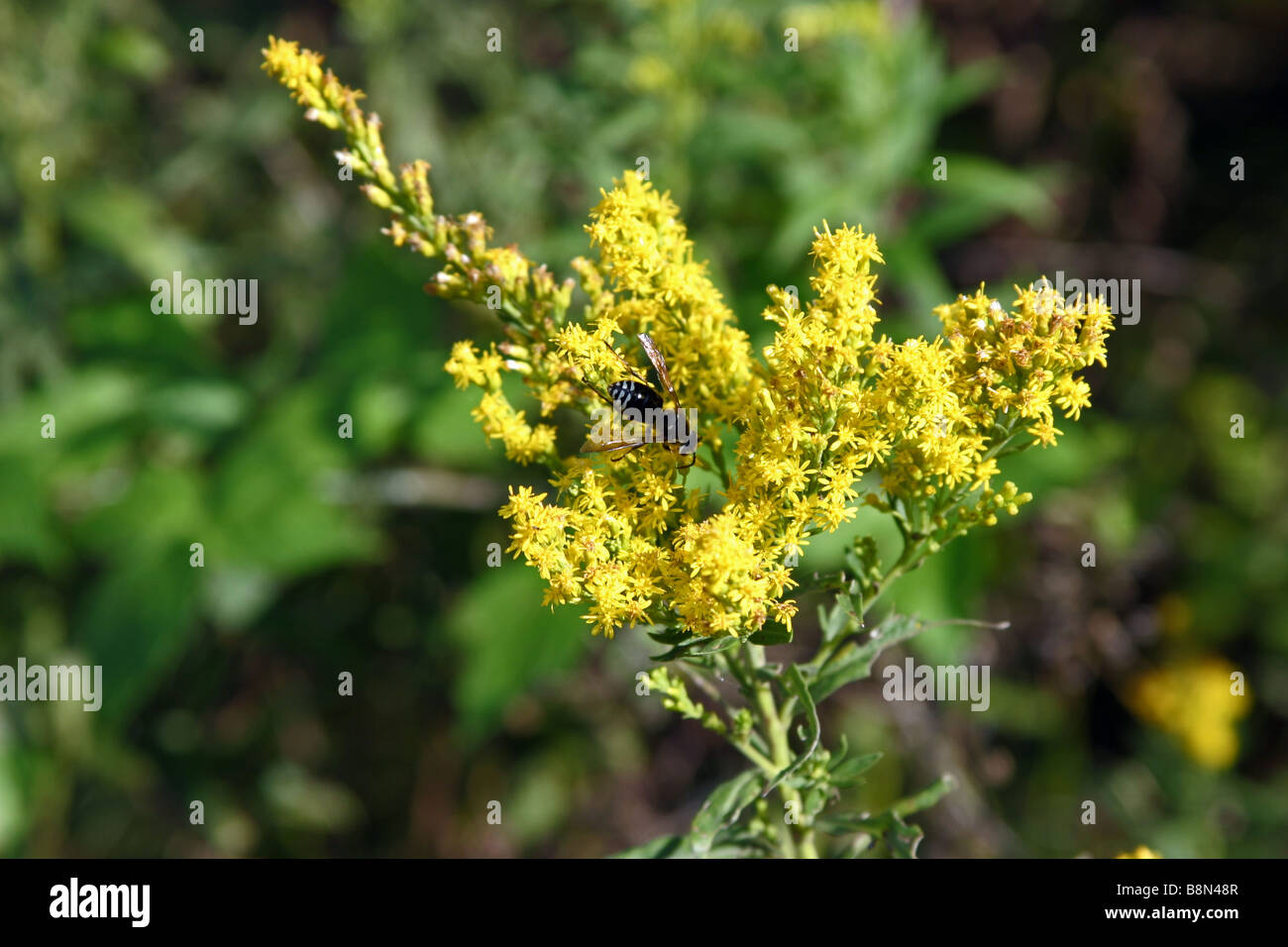 Bald face hornet on yellow weeds Stock Photo