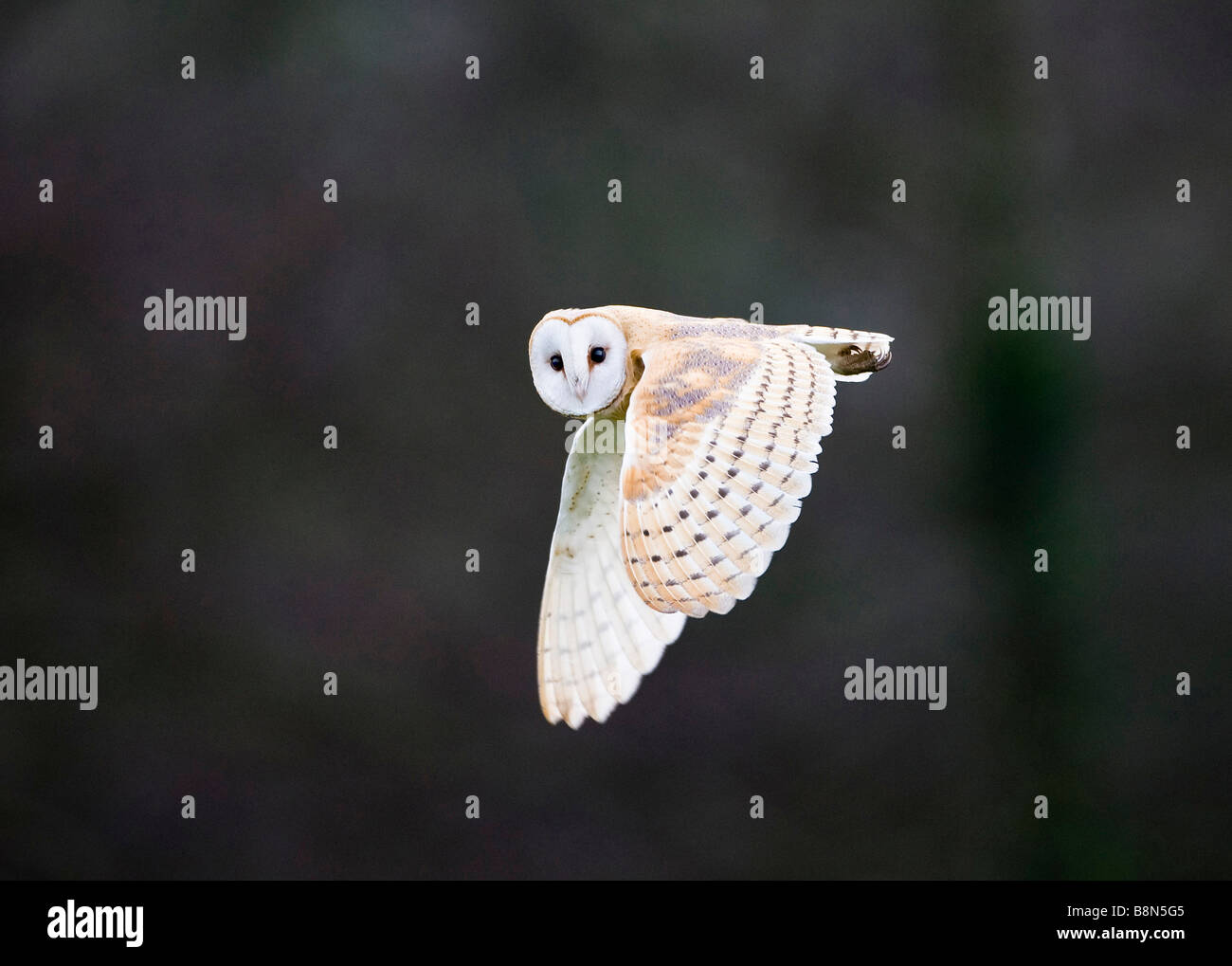 Barn Owl Tyto alba hunting over meadow North Norfolk winter Stock Photo