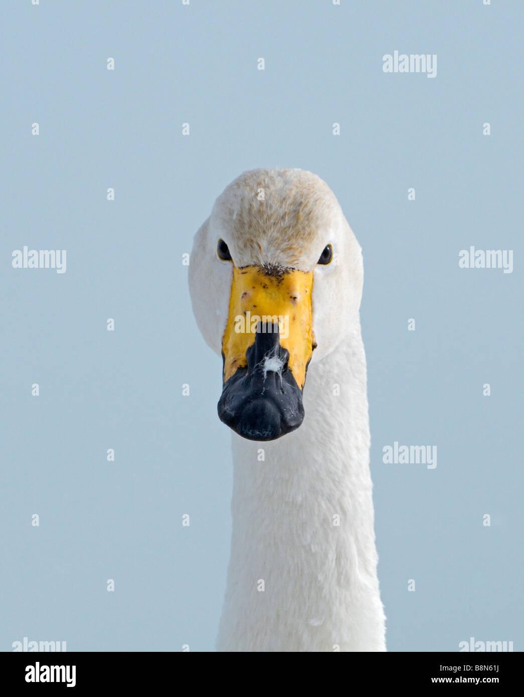 Whooper Swan Cygnus cygnus Hokkaido Japan Stock Photo