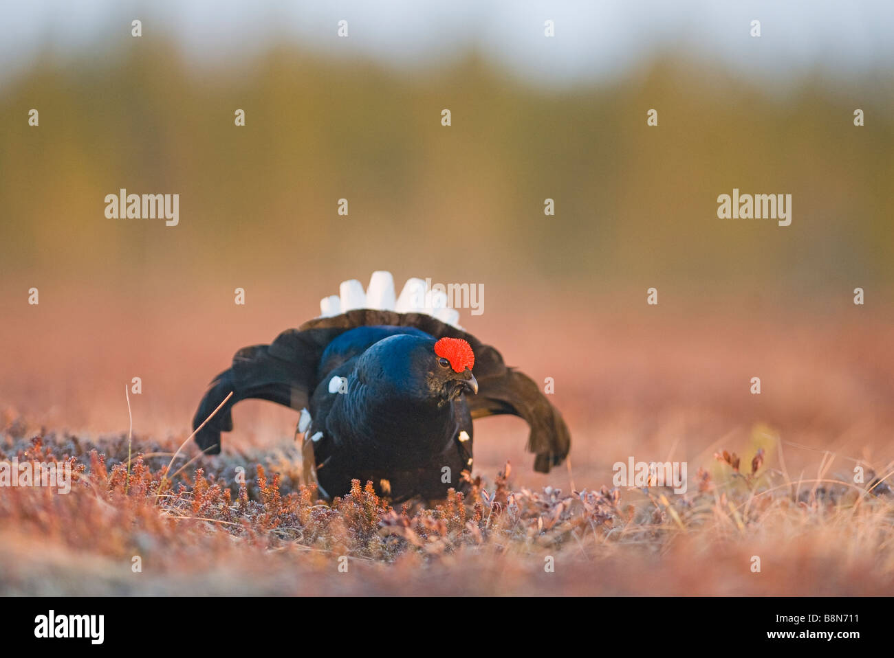 Black Grouse Tetrao tetrix male at lek Finland April - Stock Image