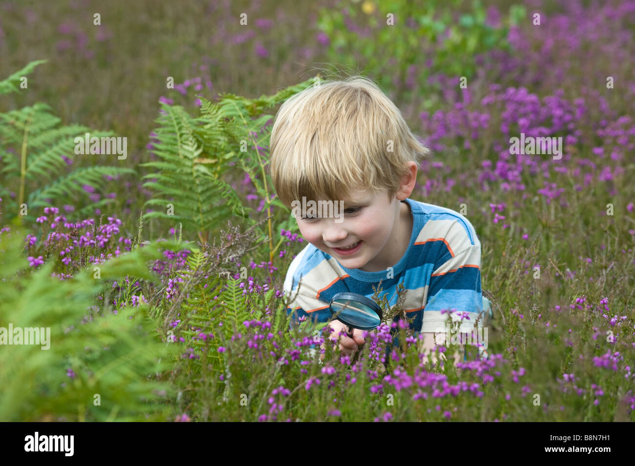 Boy with magnifying glass looking at insects on heath North Norfolk July - Stock Image