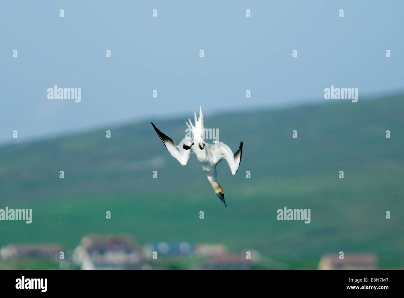 Gannet Sula bassana diving off Mousa Shetland June - Stock Image