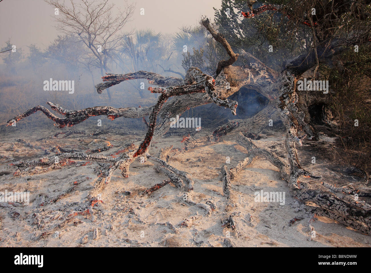 Burnt tree and ash after veld fires in Tembe Elephant Park - Stock Image