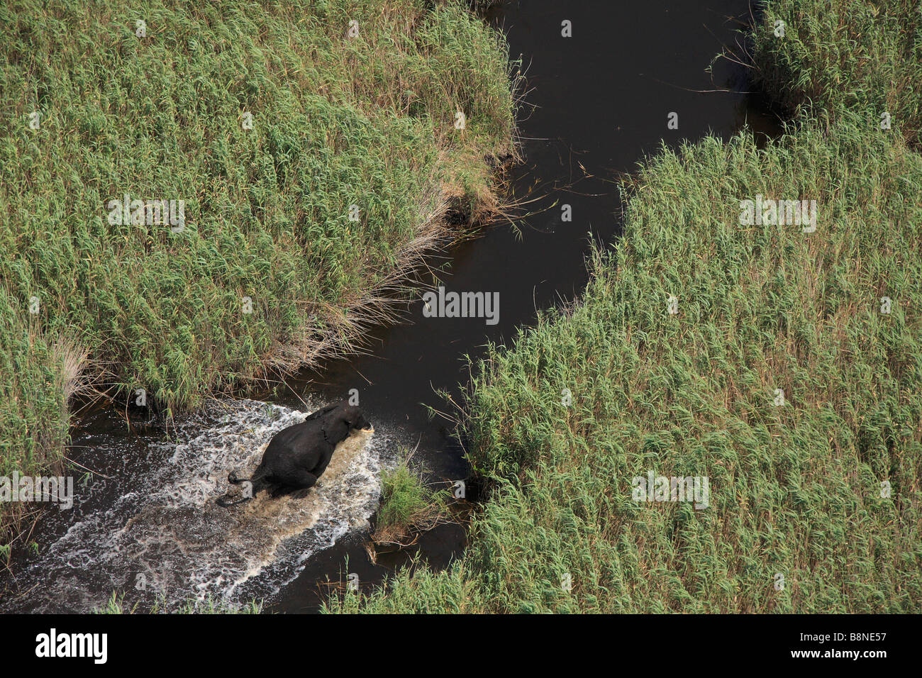 Aerial view of a lone elephant bull running up a channel lined by Phragmites reeds - Stock Image