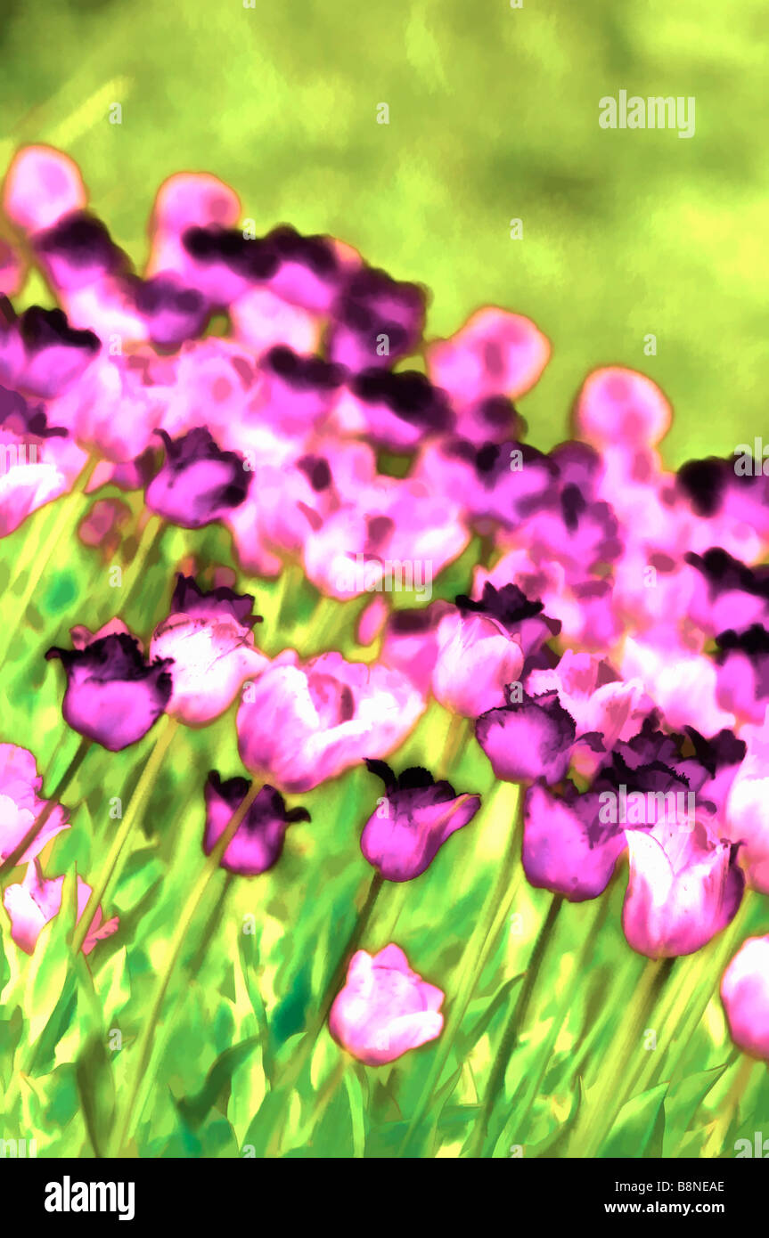 Painterly image of punk and purple tulips array in bloom in spring. Flower bed in full bloom - Stock Image