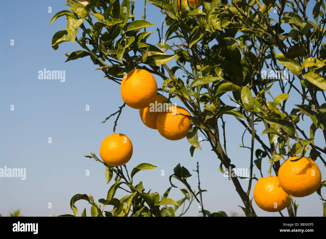 Spanish Oranges citrus Fruit Orange Tree San Fulgencio Spain Stock Photo