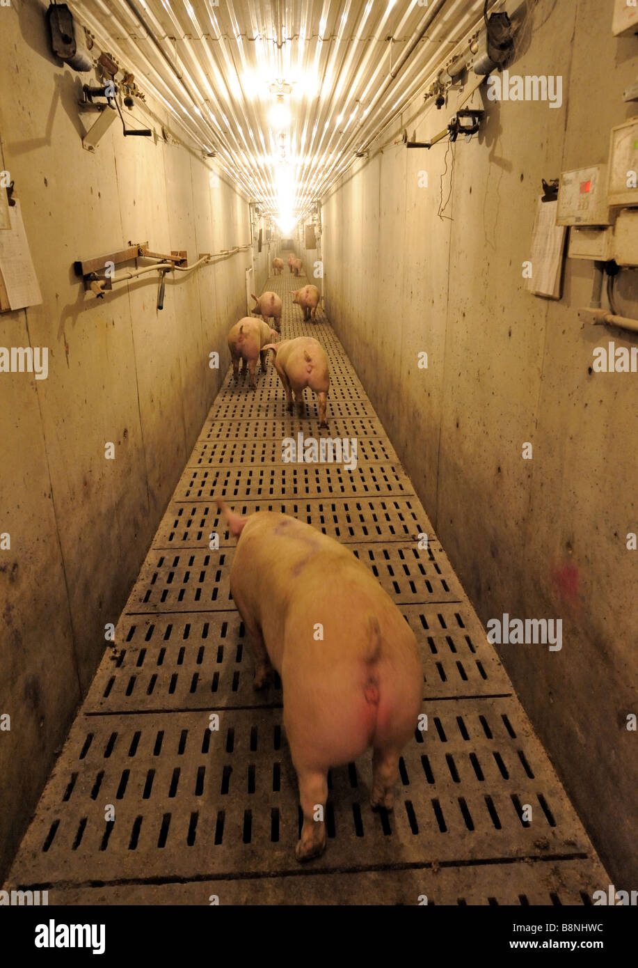 Getting hogs ready for shipping - Stock Image