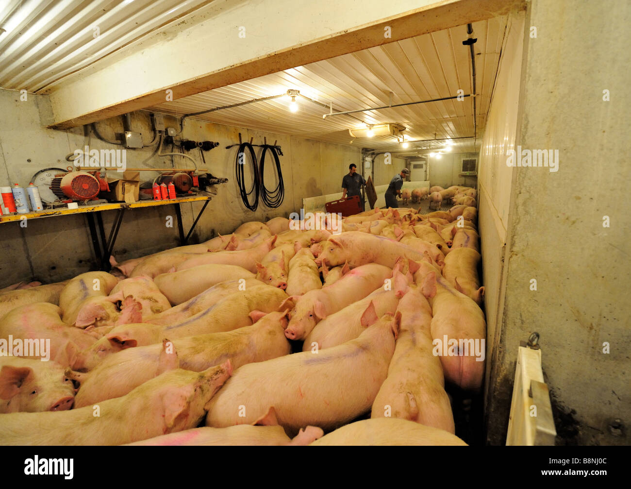 hogs ready for shipping - Stock Image