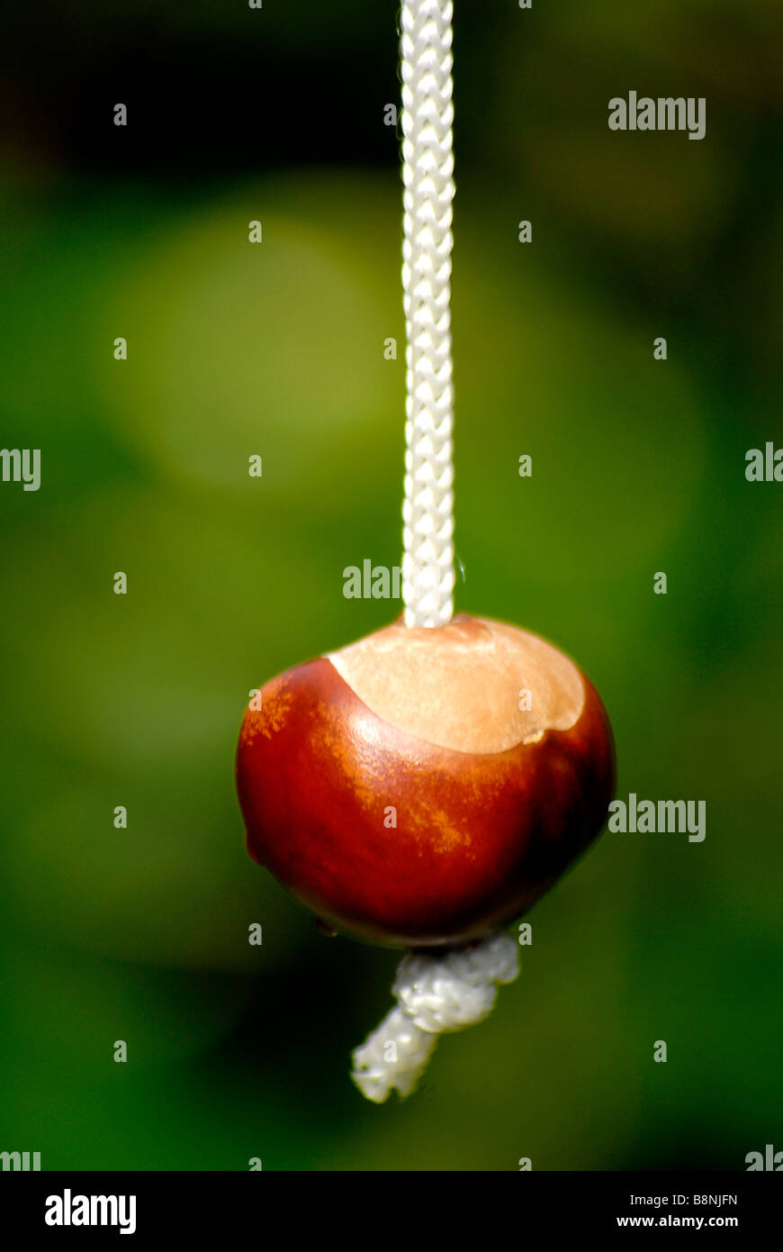 a conker on a string - Stock Image