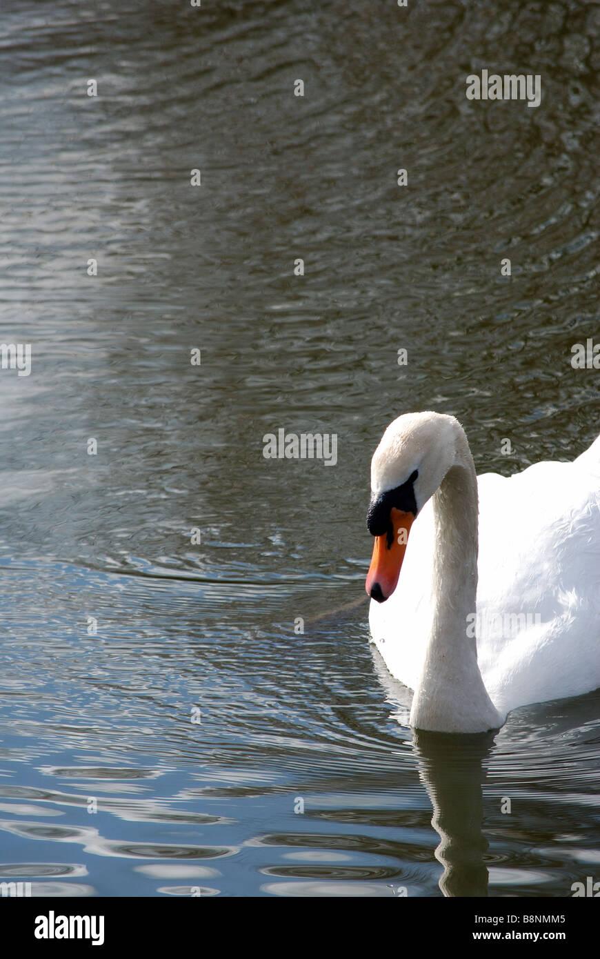 Swan swimming towards camera - Stock Image