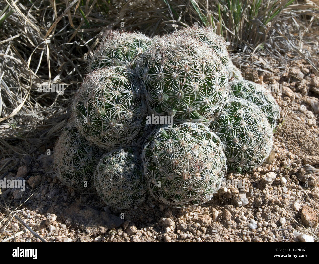 A Beehive or Spinystar cactus found in Southern Arizona near Tucson. Escobaria vivipara - Stock Image