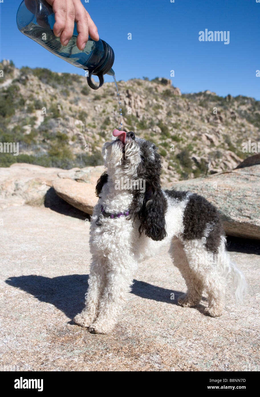 A dog taken on a desert hike drinking from water pouring from his master's water bottle - Stock Image