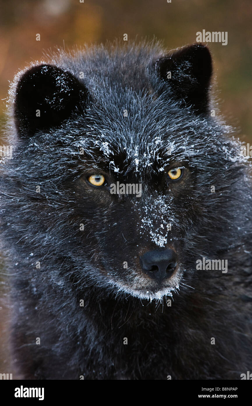 Frost covered face portrait of a black phased Grey Wolf, photographed at -10 deg F (-23 deg C) - Stock Image