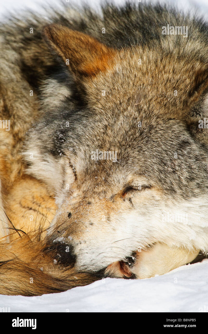 Full frame closeup of Grey wolf resting / sleeping while photographed at a low angle - Stock Image