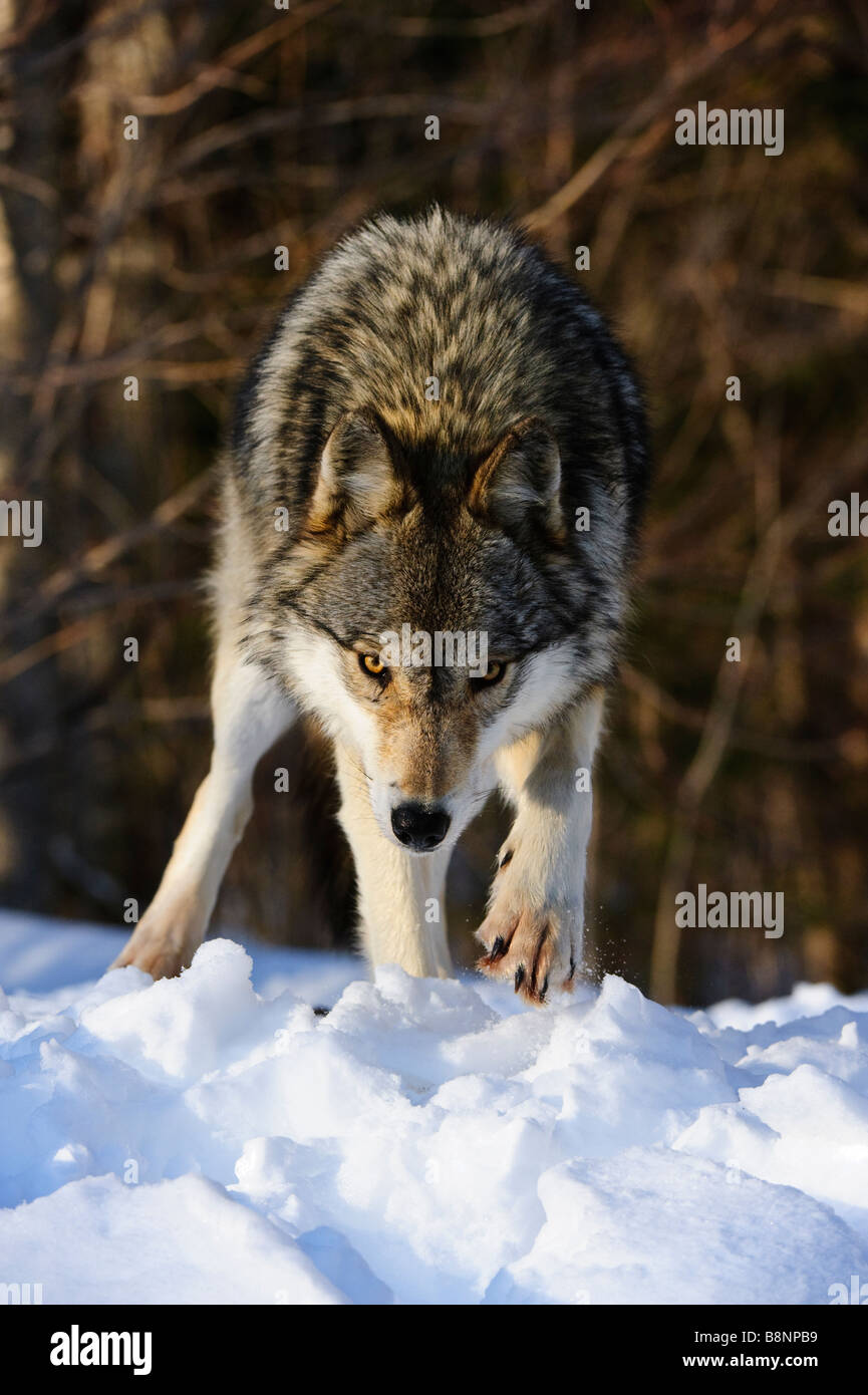 Grey wolf lifting paw and kicking up snow, photographed from a low angle of view with a woodland background - Stock Image