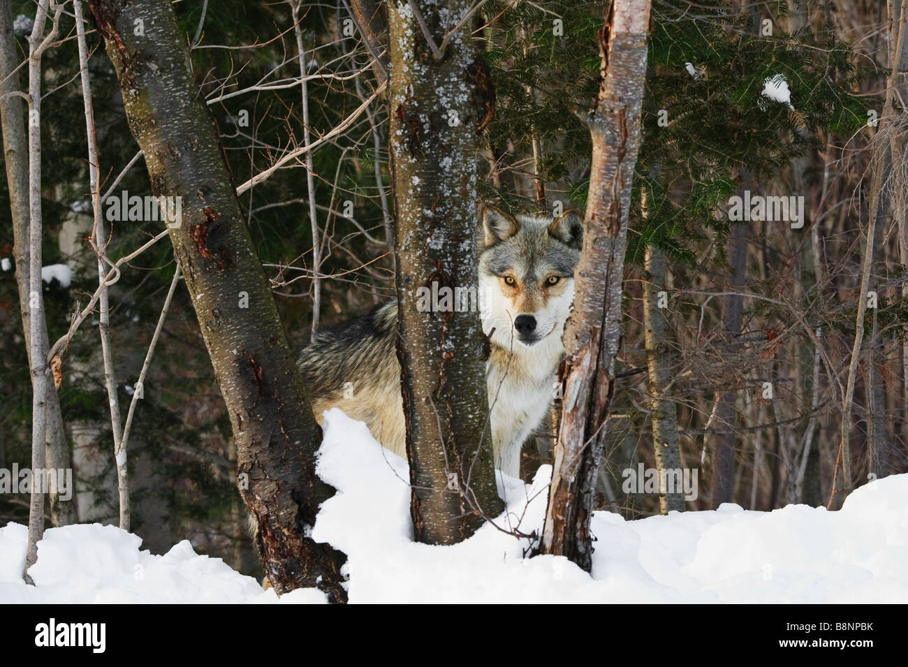 Grey Wolf in winter looks through triple tree trunks - Stock Image