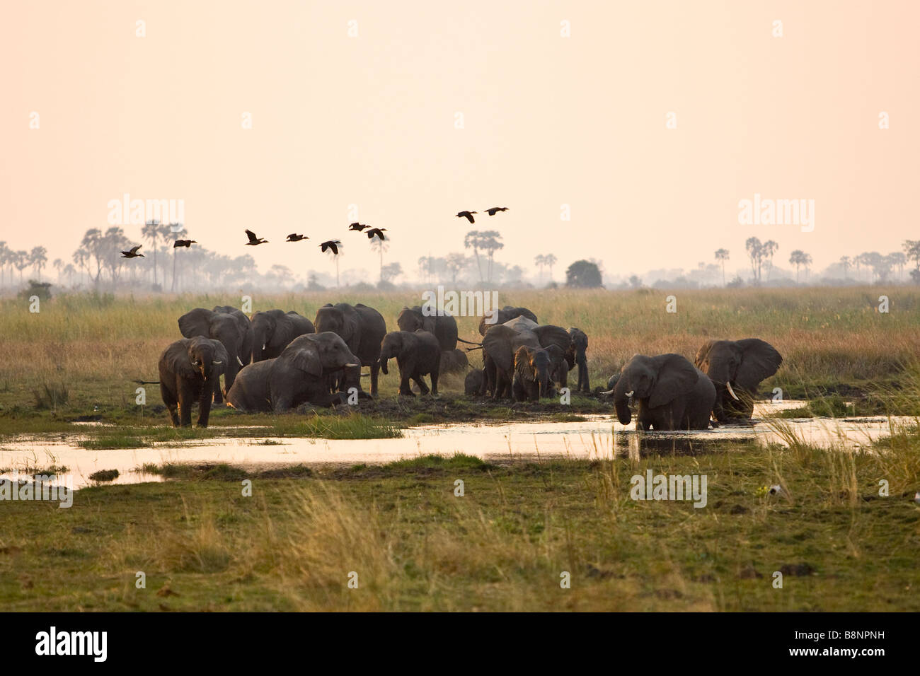 a herd of elephant at a water hole in northern Botswana - Stock Image