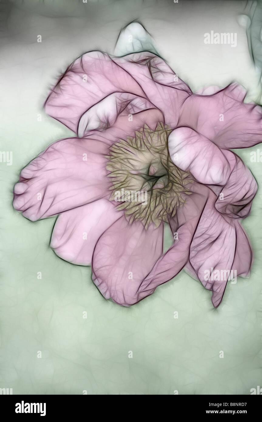 Sket of Single Pink Peony Bloom - Stock Image