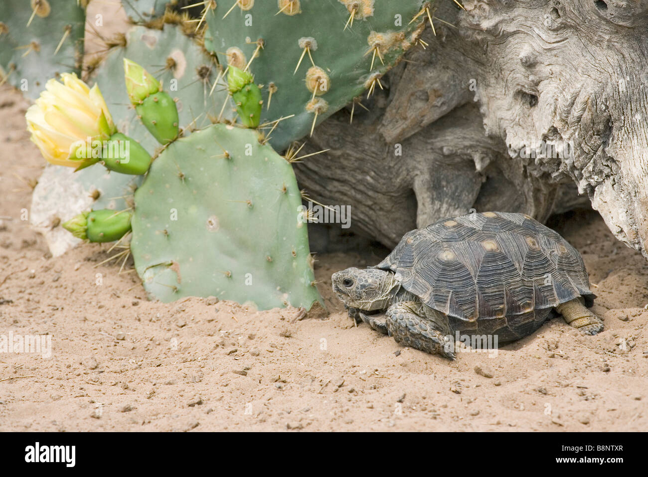 Texas Tortoise Gopherus berlandieri Stock Photo