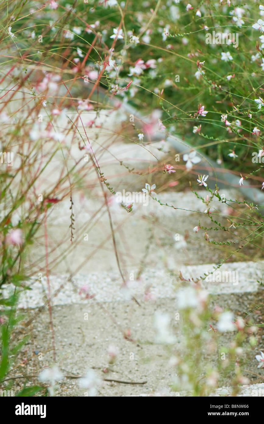 Whirling Butterflies (Gaura lindheimeri) - Stock Image