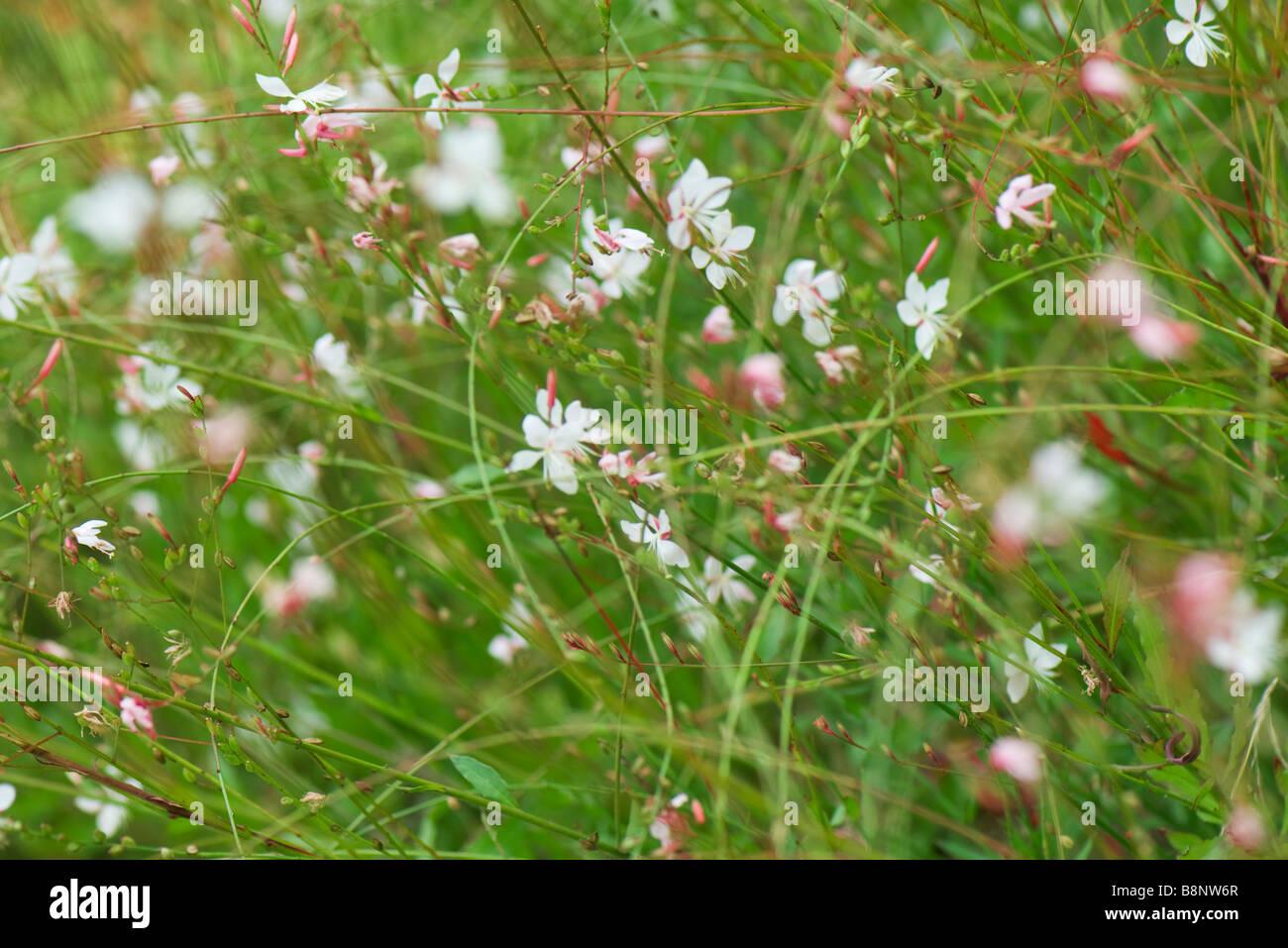 Whirling Butterflies (Gaura lindheimeri) Stock Photo