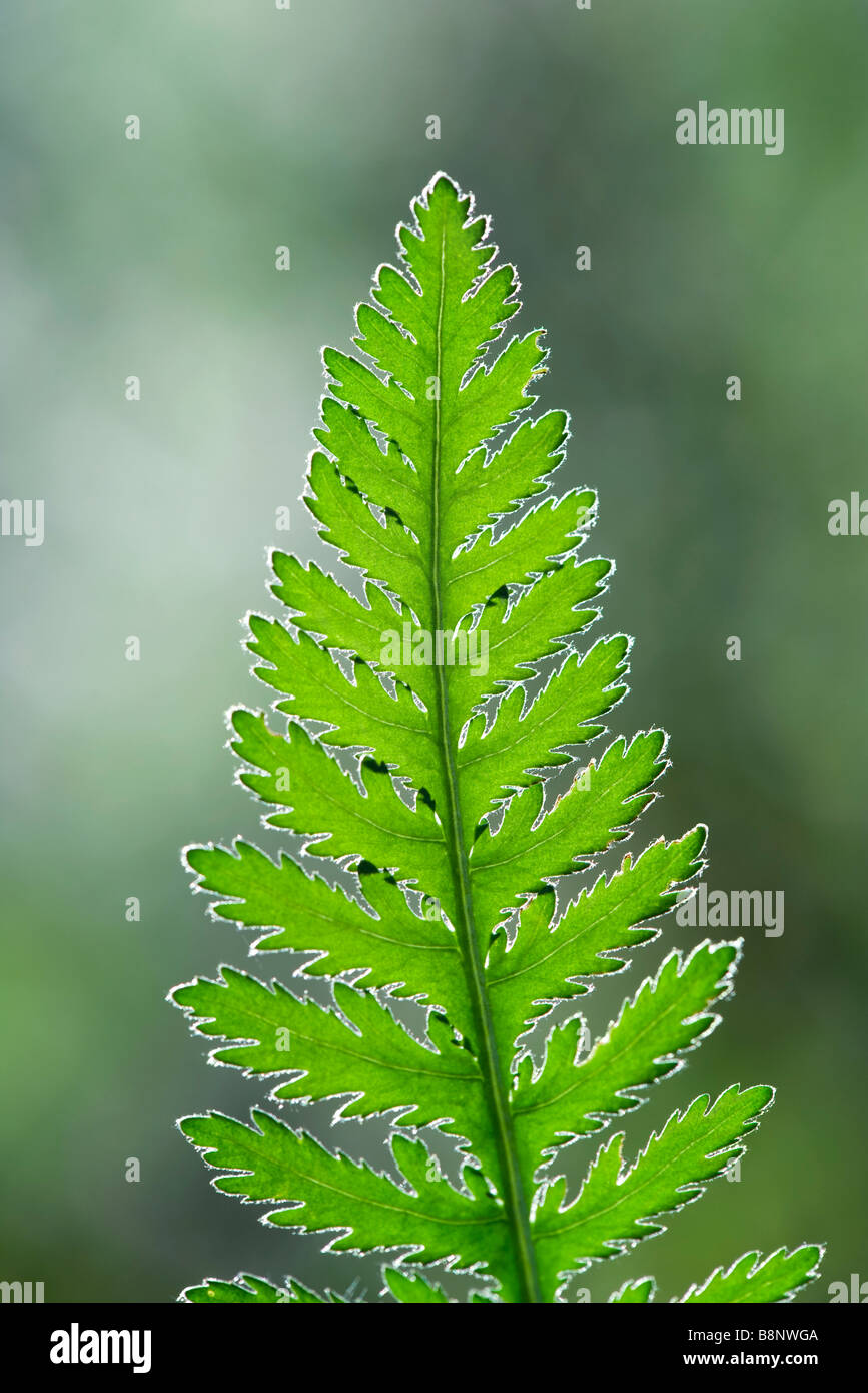 Fern frond, close-up - Stock Image
