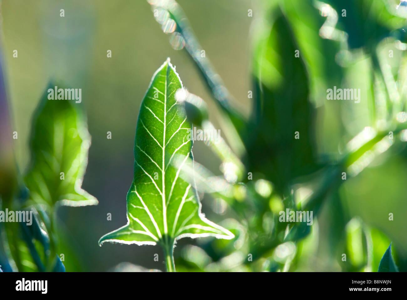 Arum plant, backlit foliage - Stock Image