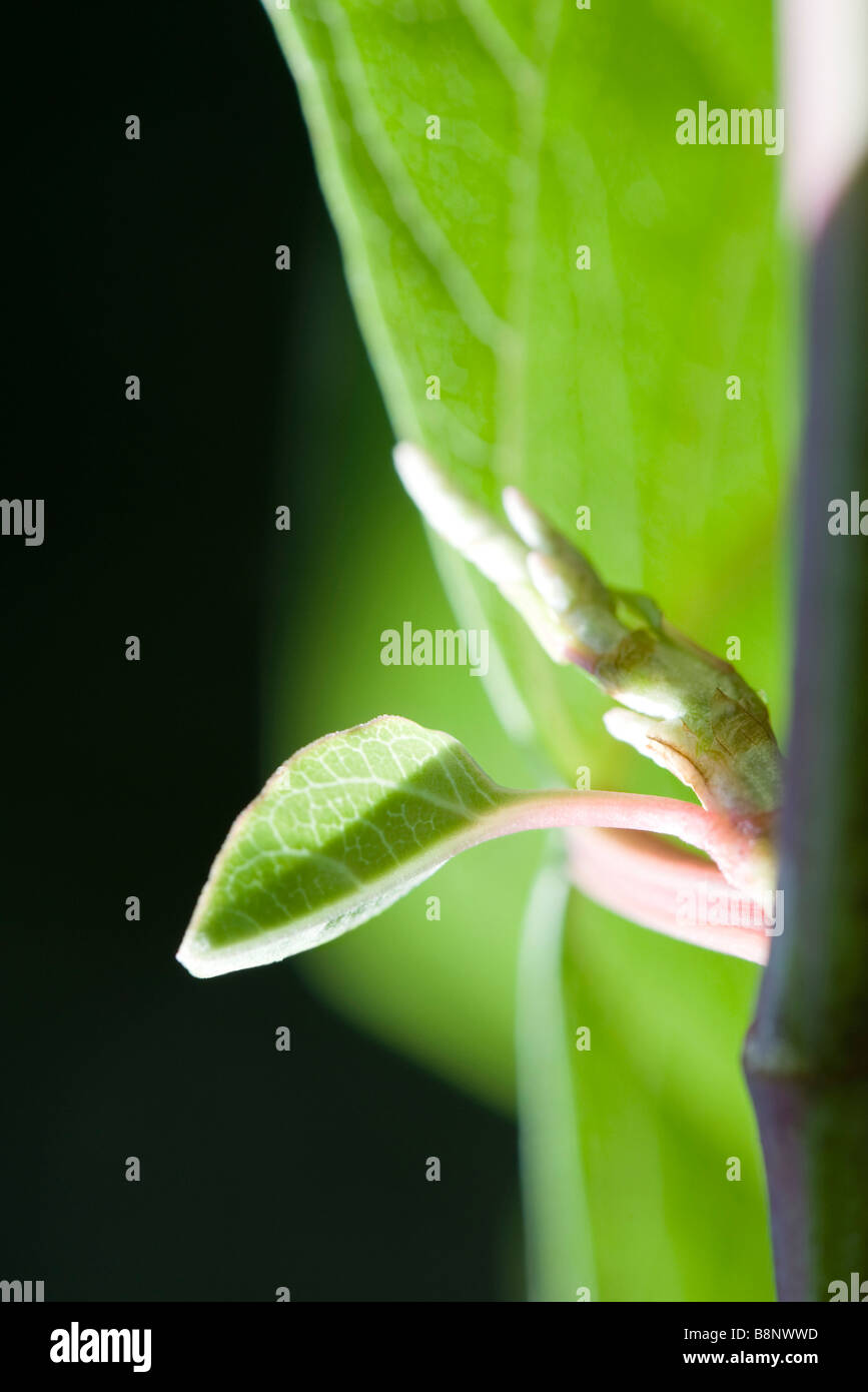 New leaves on stem, extreme close-up - Stock Image