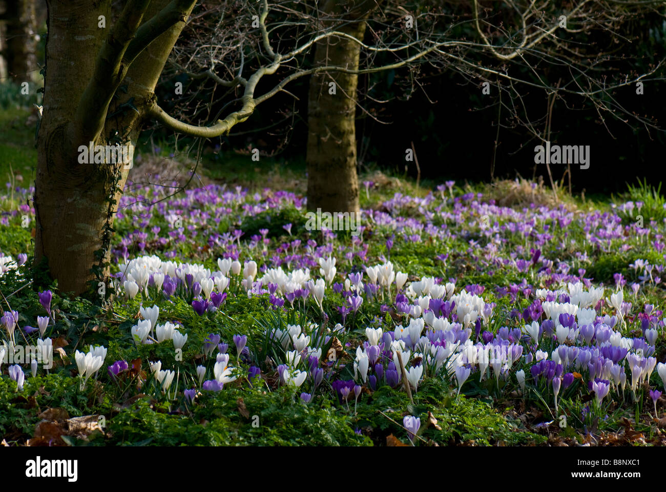 Purple and white spring crocus on a lawn - Stock Image