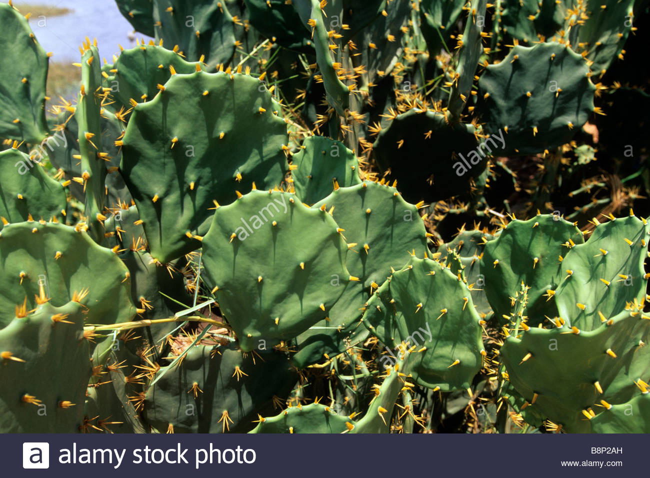 arambepe, cactus, bahia, brazil - Stock Image