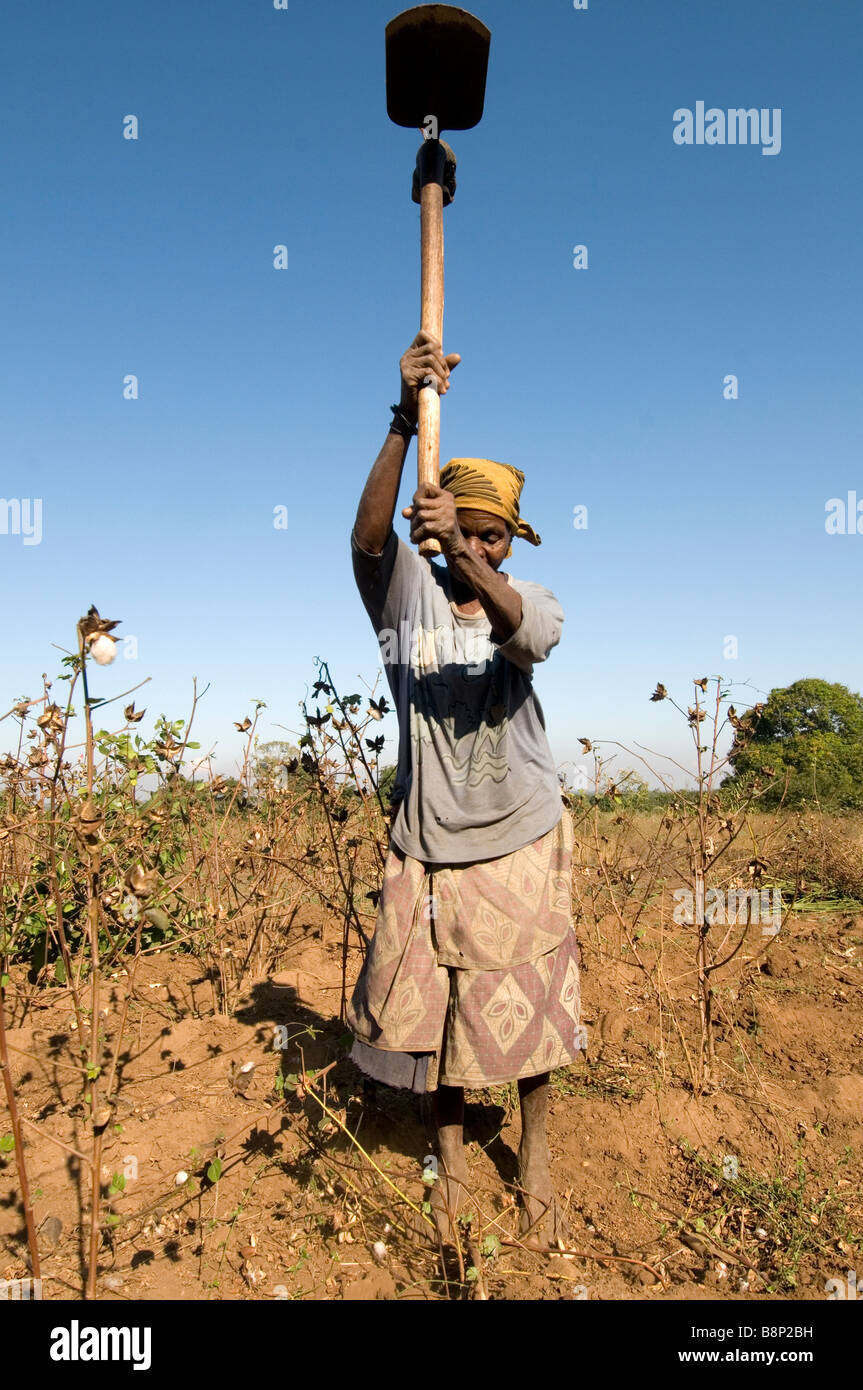 Malawi 2008 Nasanje A Makwiya Chikwawa district Chimvana Pasiya clearing cotton plants after harvest - Stock Image