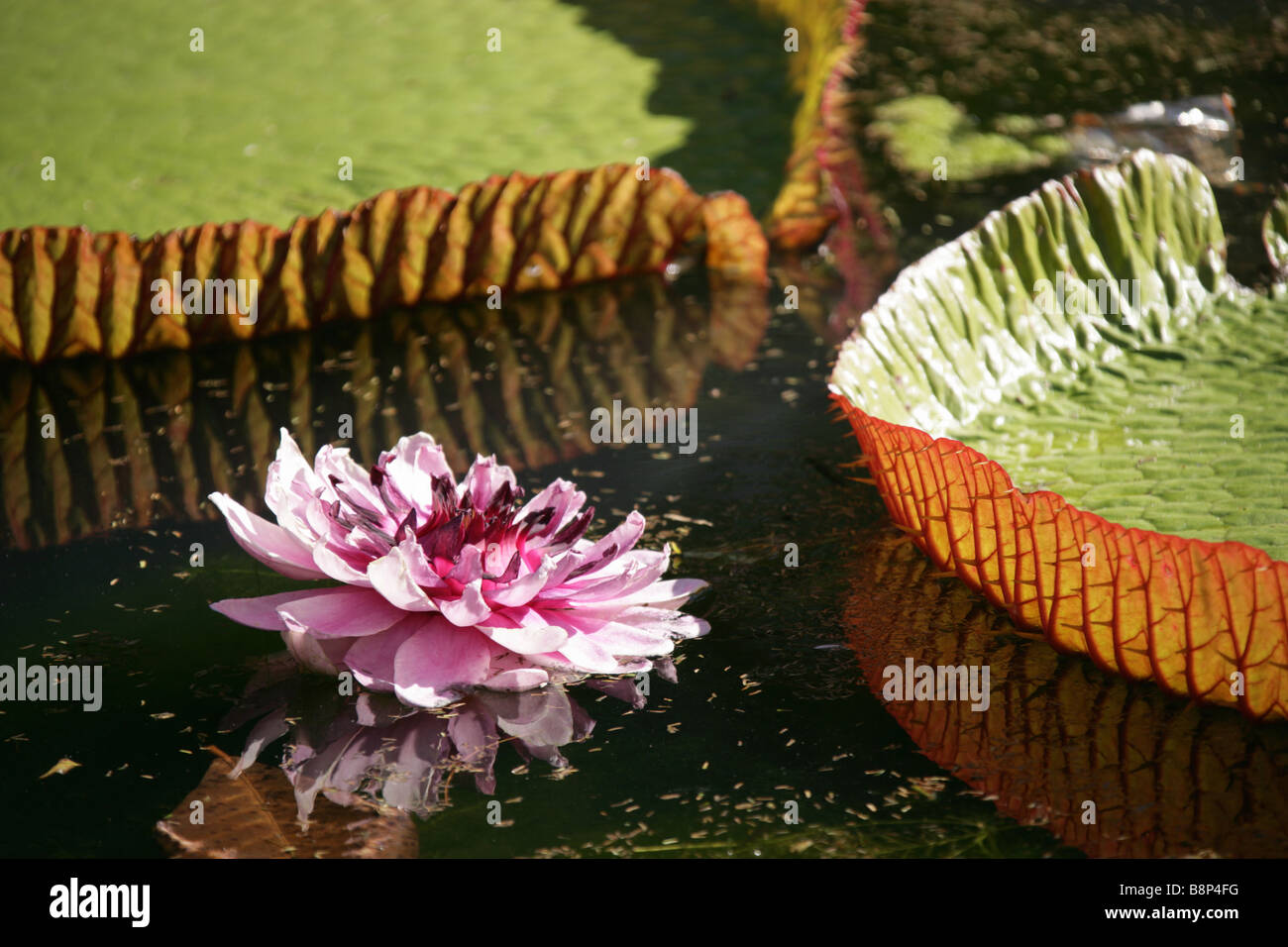Flower and giant water lily of the Victoria Regia otherwise know as the Amazonica, located in Mauritius's Pamplemousses Garden. Stock Photo