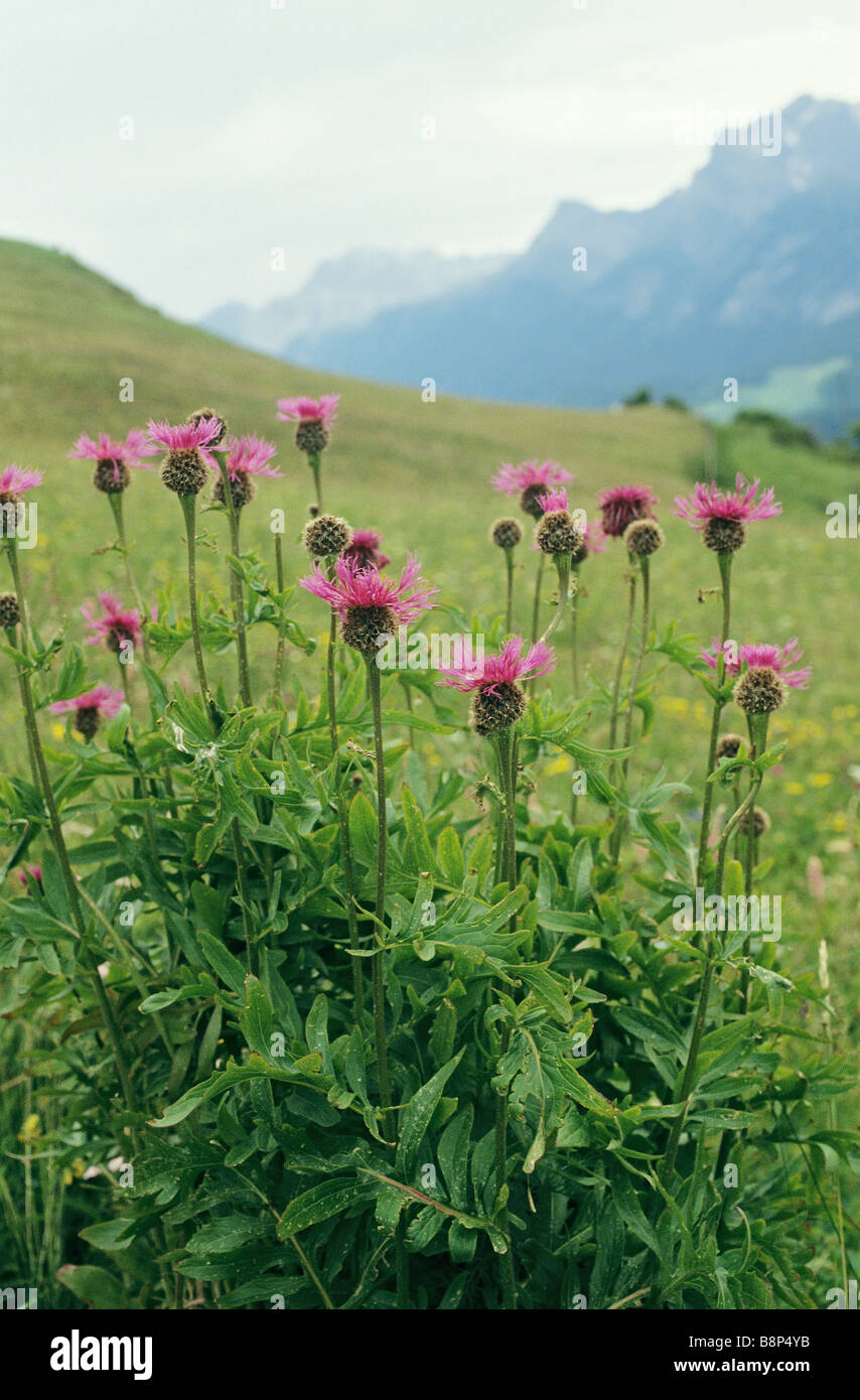 Spear thistle - blossoms / Cirsium vulgare - Stock Image