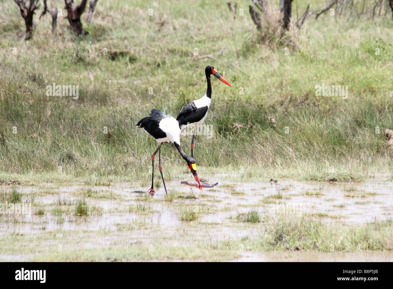 Africa Tanzania Lake Manyara National Park two Saddle billed Stork Ephippiorhynchus senegalensis wading in water - Stock Image