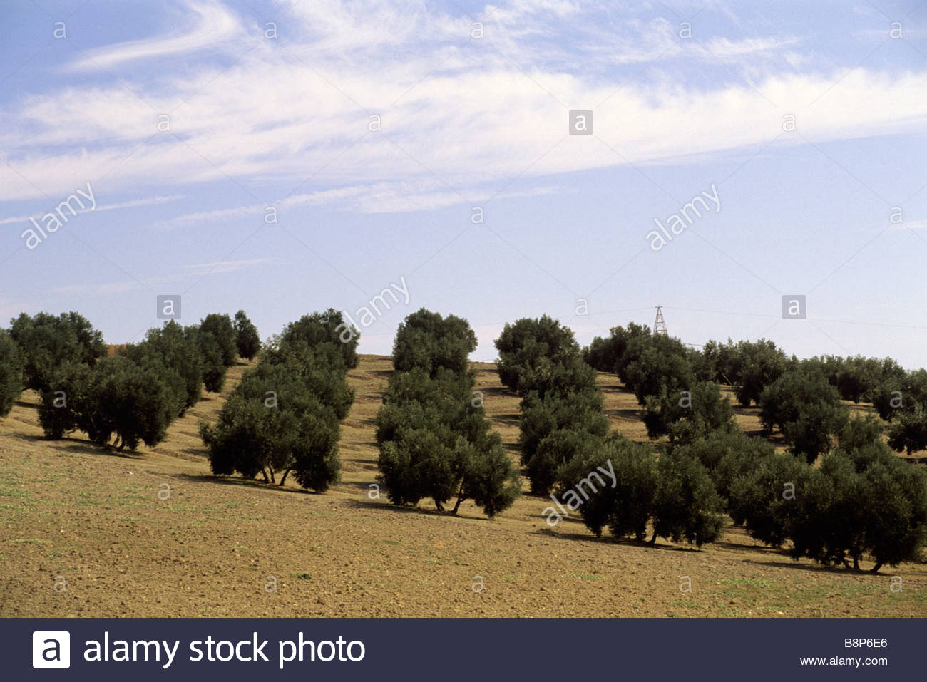 ulivi, jaen, andalusia, spain - Stock Image