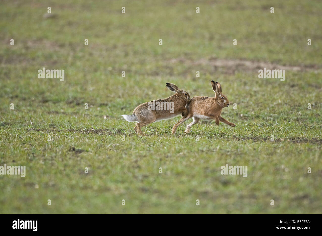 Brown Hares boxing and chasing  Oxon uk - Stock Image
