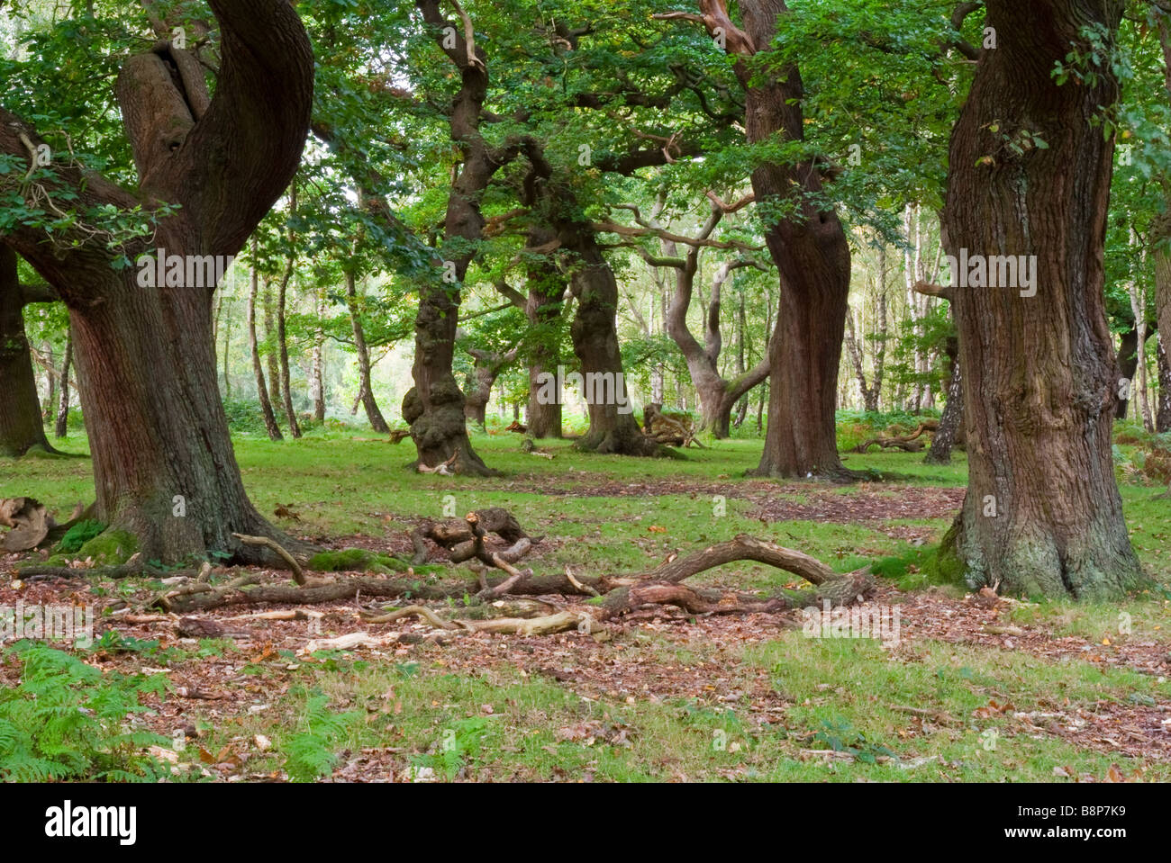 'ancient woodland' - Stock Image