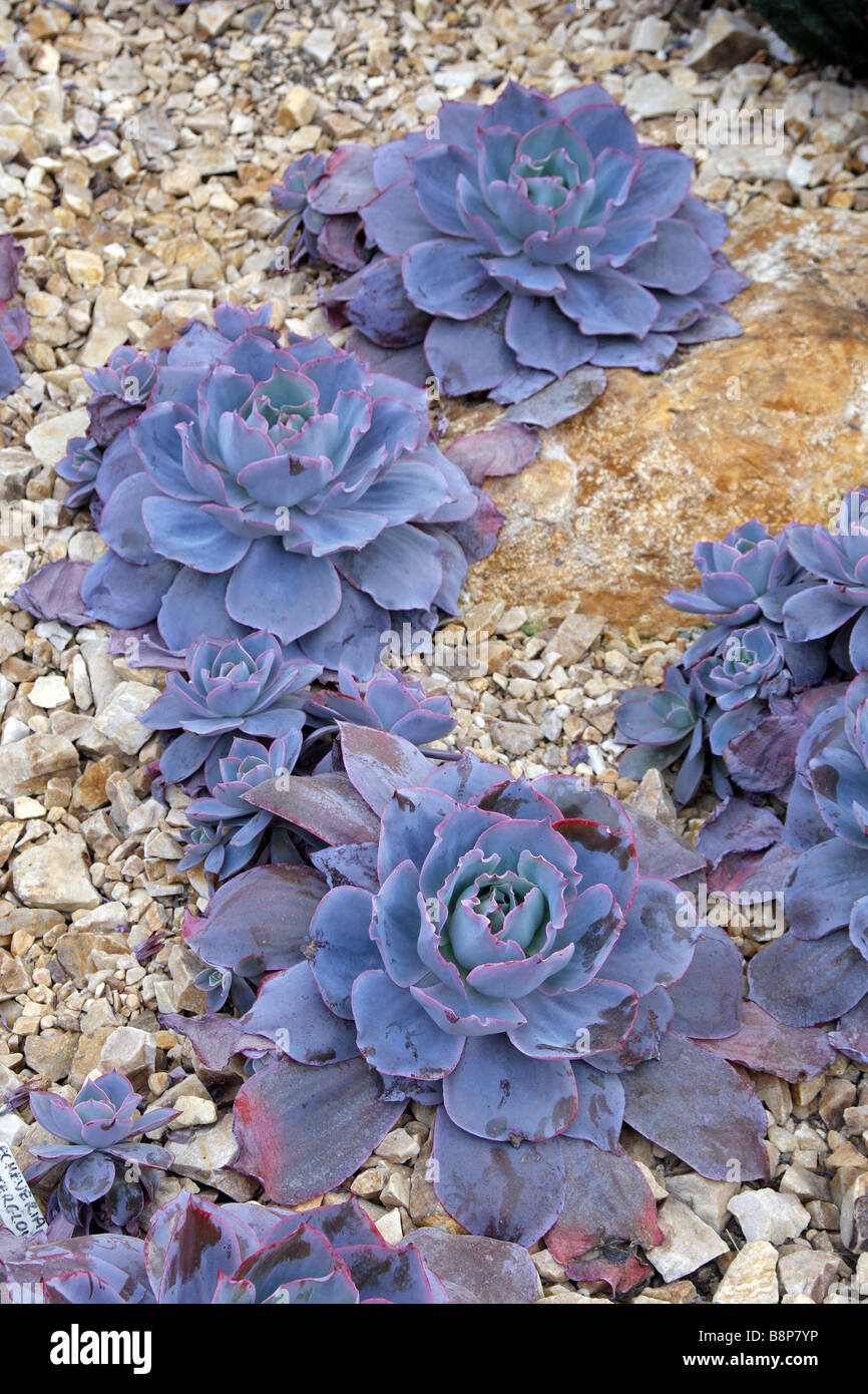 ECHEVERIA AFTERGLOW AT RHS WISLEY GARDEN UK - Stock Image