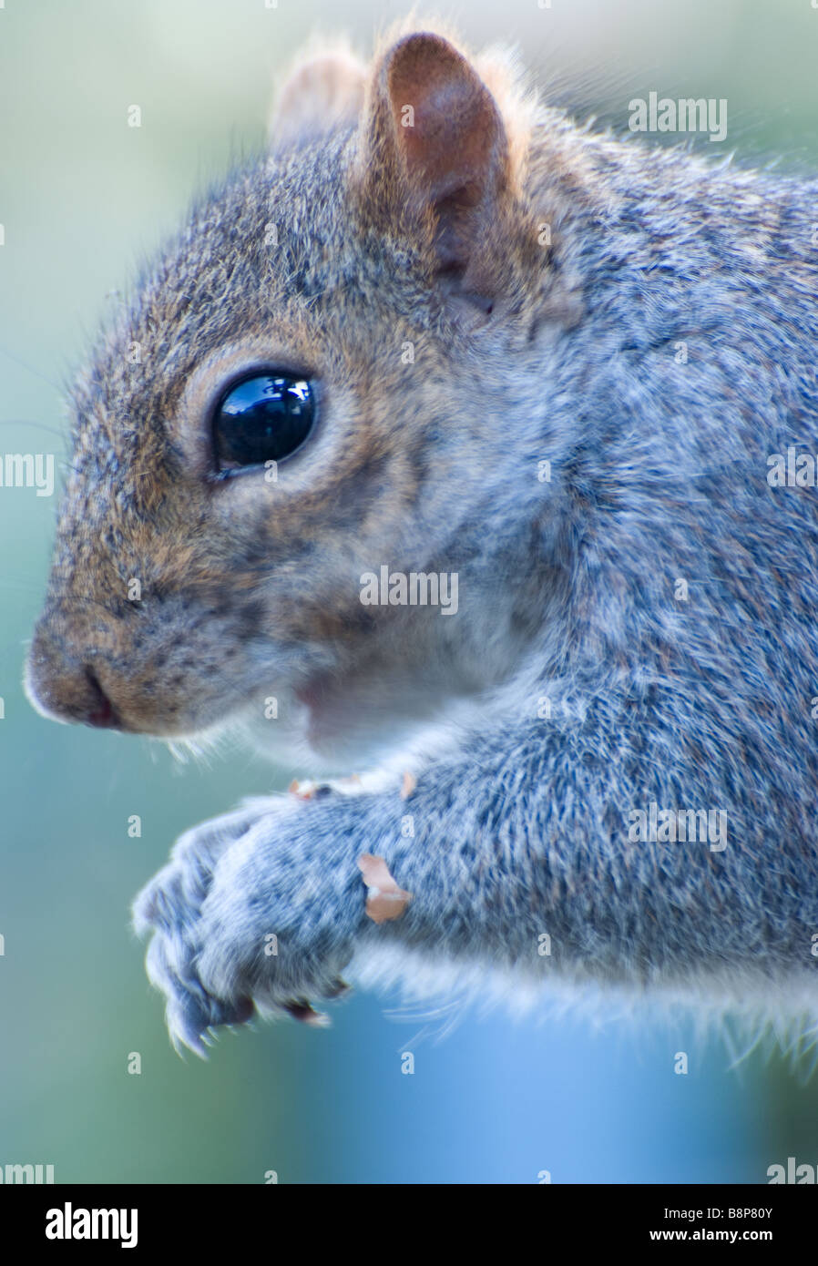 Close Up Of A Grey Squirrel Stock Photos & Close Up Of A Grey ...