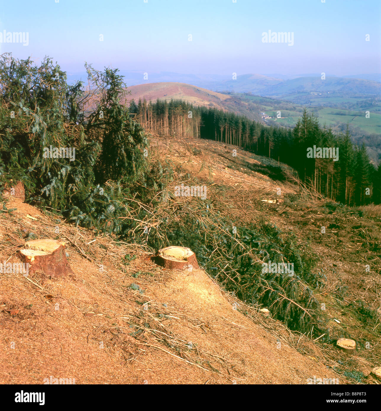 Forestry site landscape after a forest of conifer trees have been cut down and cleared in Carmarthenshire Wales - Stock Image