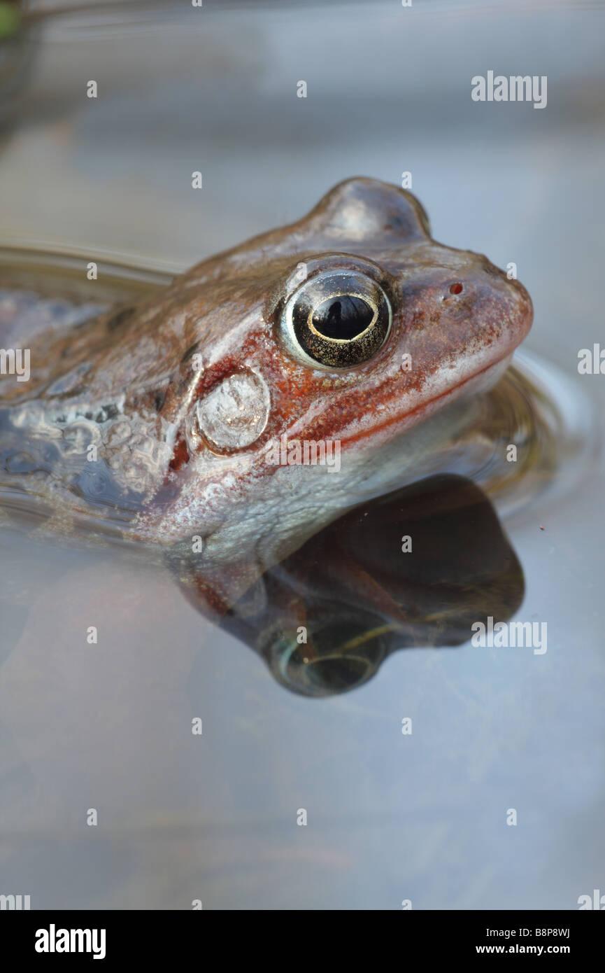 Common Frog - Rana temporaria - Stock Image