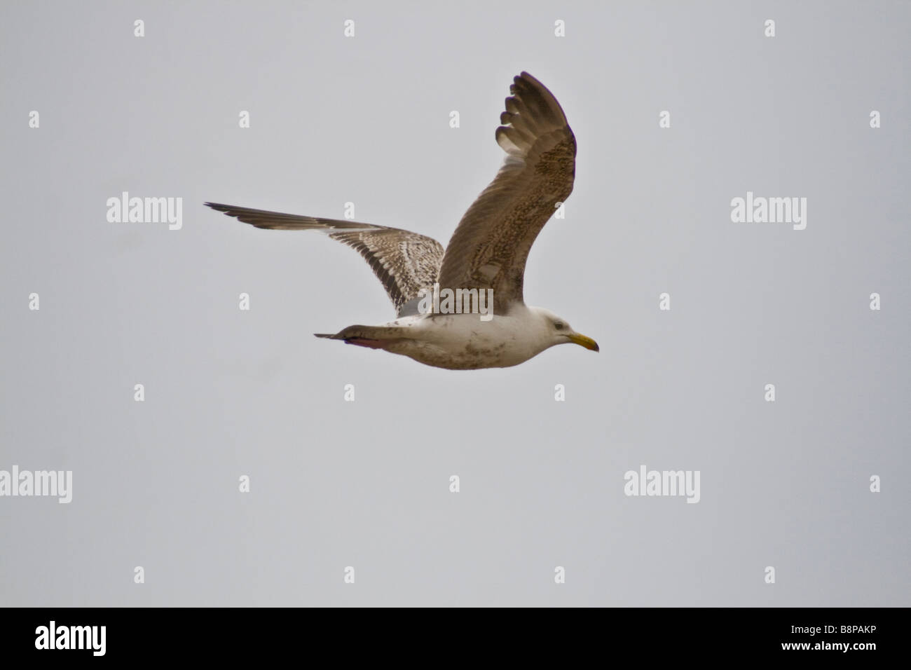 Gull in flight - Stock Image