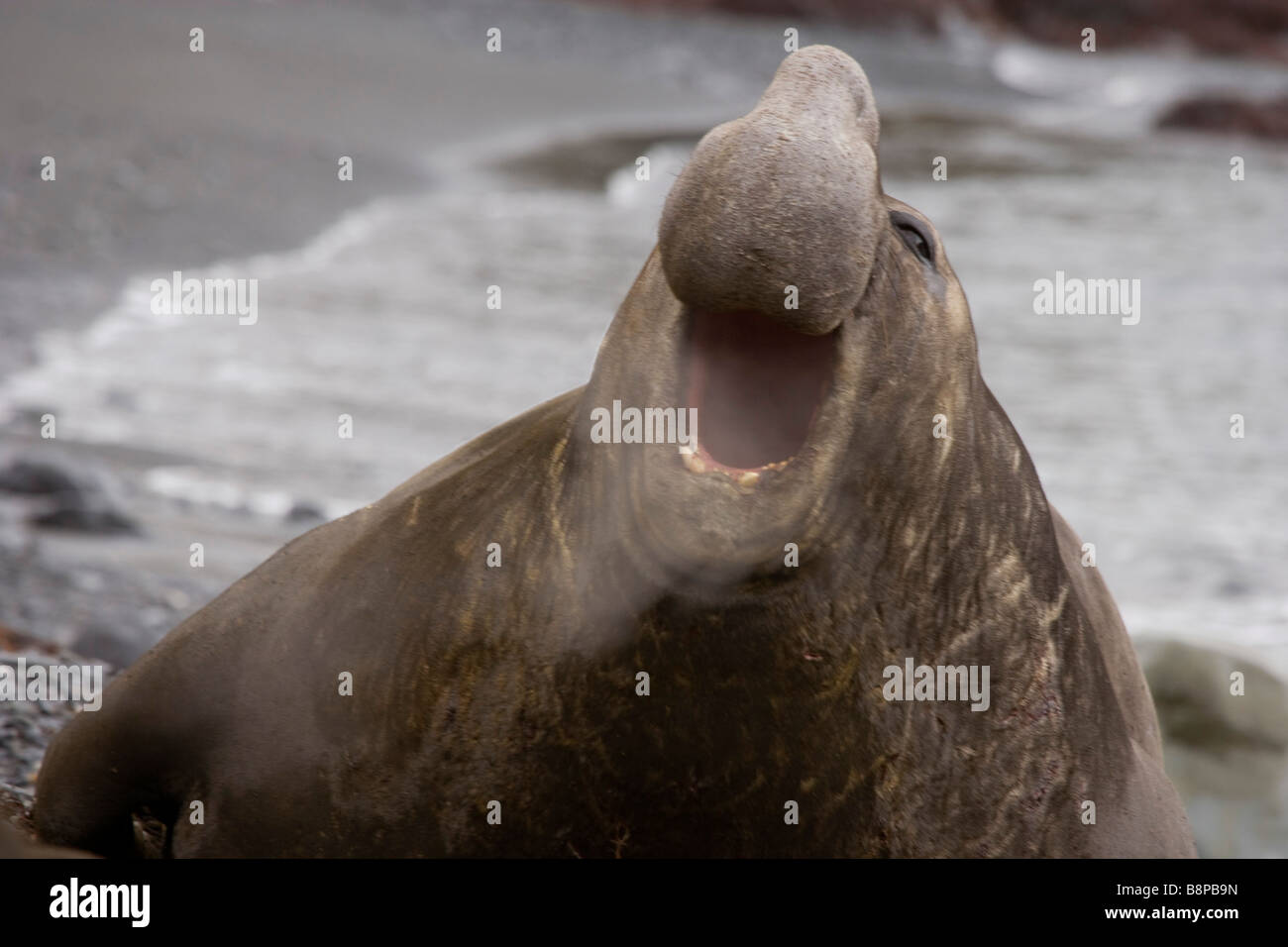 South Georgia Island Southern, UK - Elephant Seal, Mirounga leoina - Stock Image