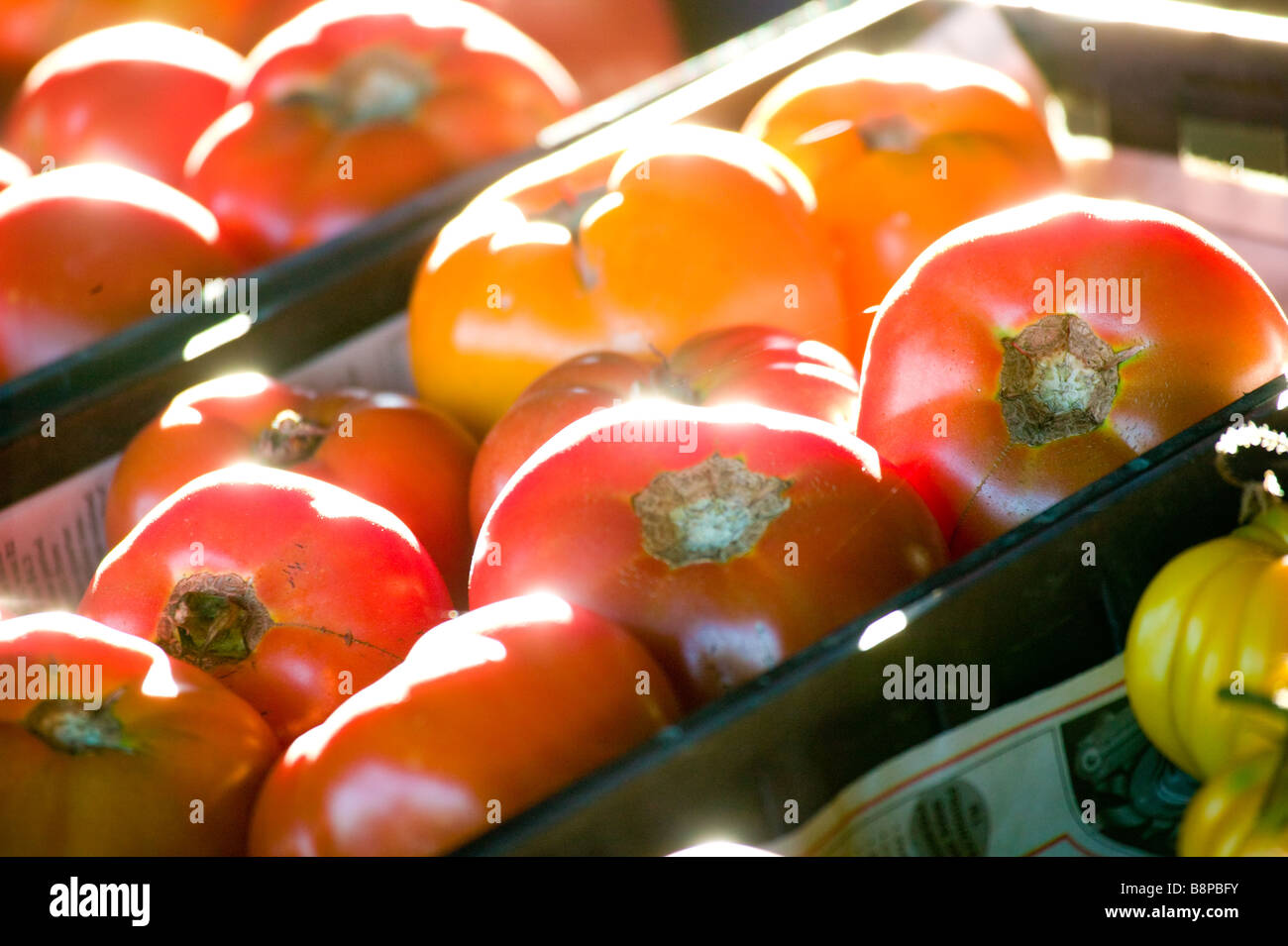 Tomatoes fresh picked ready for grading - Stock Image